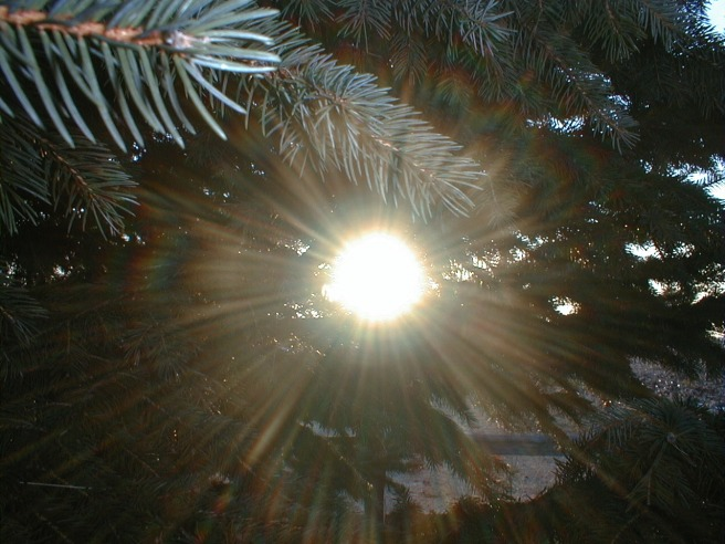 7-sun-through-pine-needles
