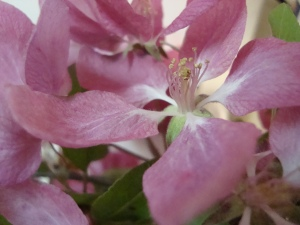 crab apple close up