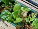 Salad garden May 23