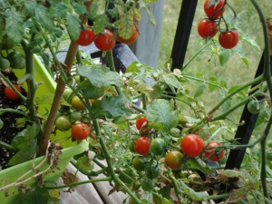 tomatoes on balcony